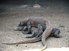 Komodo Dragons Sunda Islands Indonesia