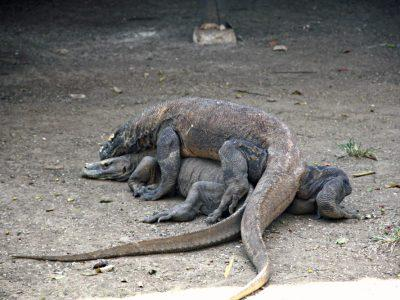 Komodo Dragons Sunda Islands Indonesia