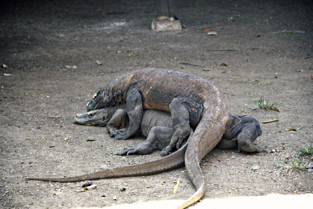 Searching For Komodo Dragons in Indonesia
