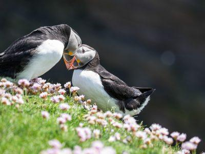 puffins in Shetland