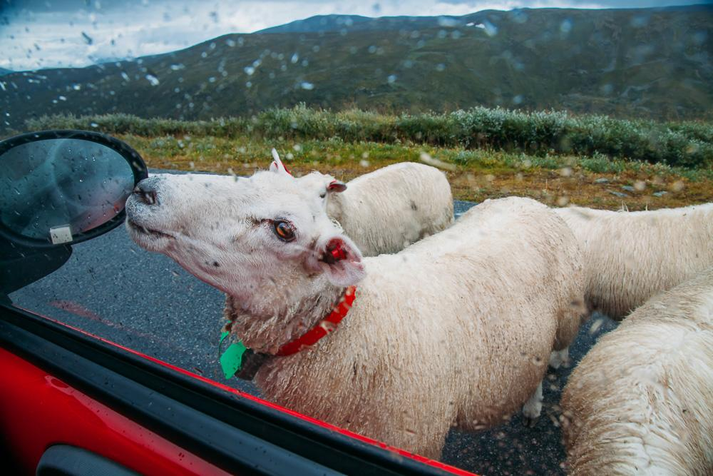 sheep driving aurlandsfjell bergen norway road trip