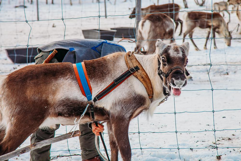 riding in a reindeer sleigh abisko kiruna swedish lapland sweden