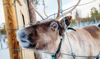 16 Photos of Reindeer, Because Reindeer