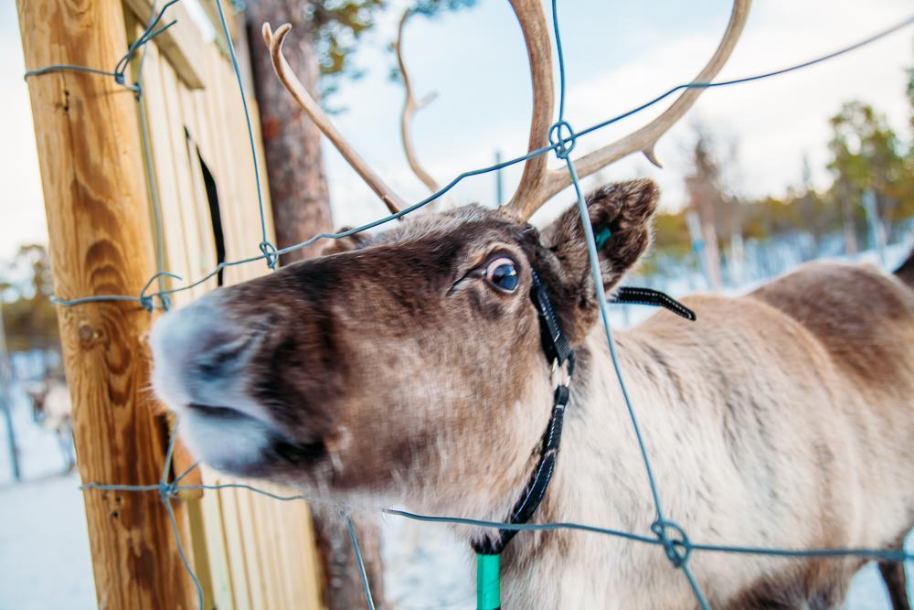reindeer sami swedish lapland kiruna abisko sweden