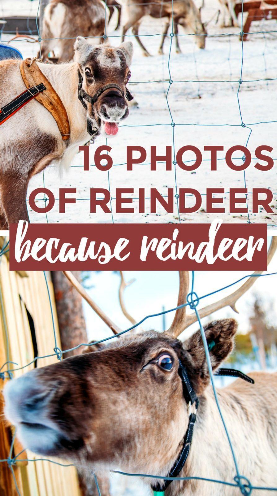16 photos of reindeer because reindeer heart my backpack