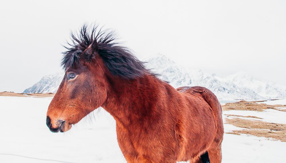 horse lofoten norway