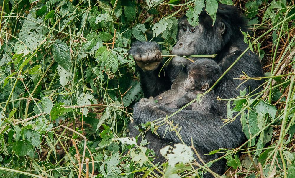mountain gorillas bwindi national park uganda