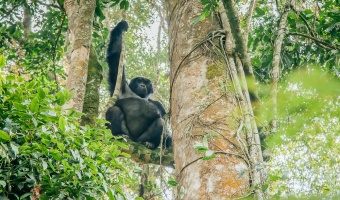 Gorilla Trekking in Bwindi National Park in Uganda