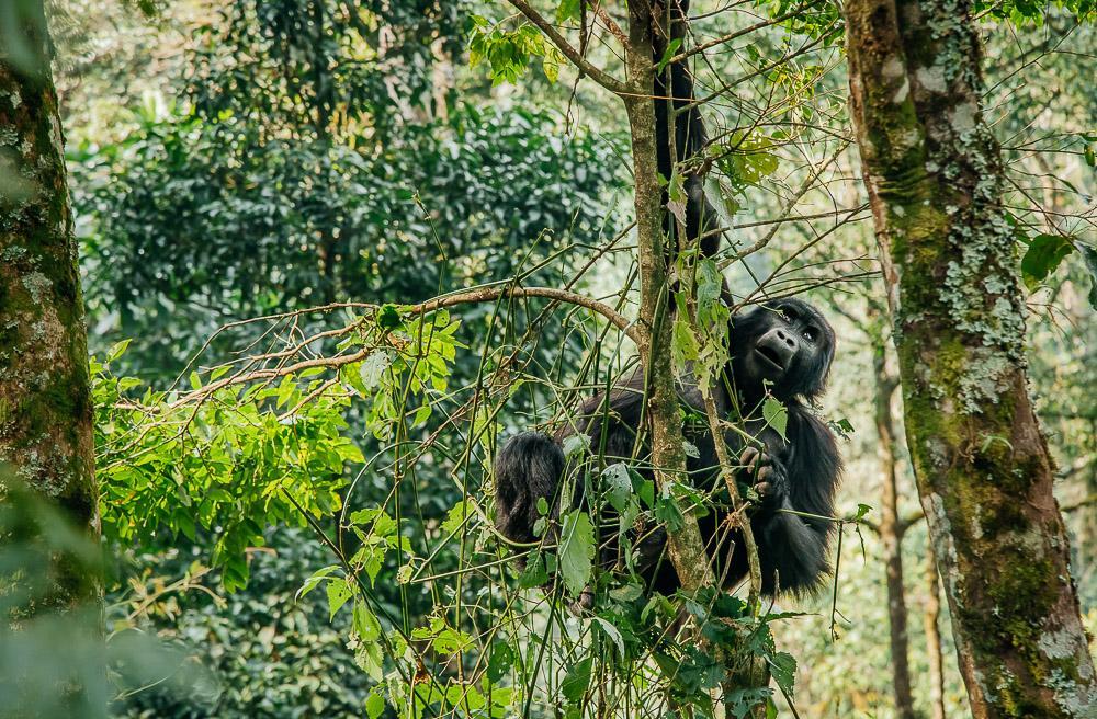 gorilla trekking in uganda bwindi national park