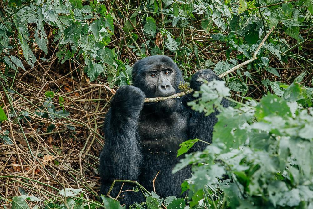 gorilla tracking in uganda bwindi national park