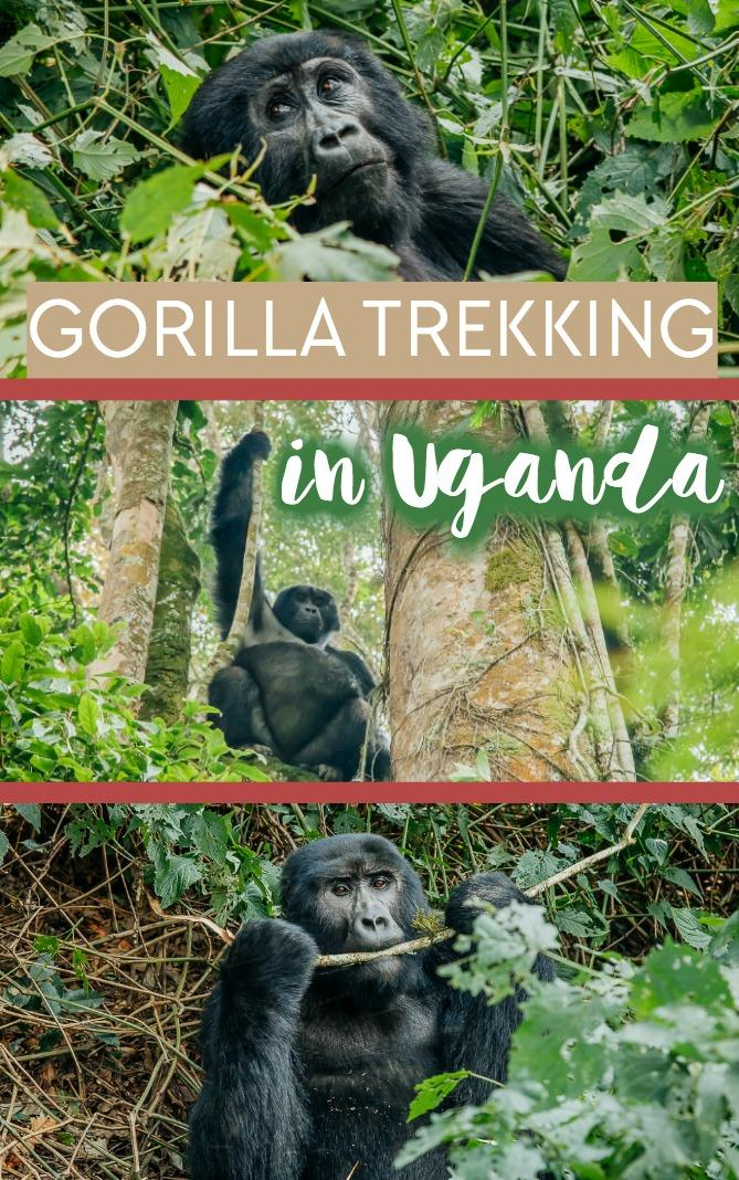 A guide to gorilla trekking (tracking) in Uganda, including the cost, permits, accommodation, and other things to do near Bwindi National Park