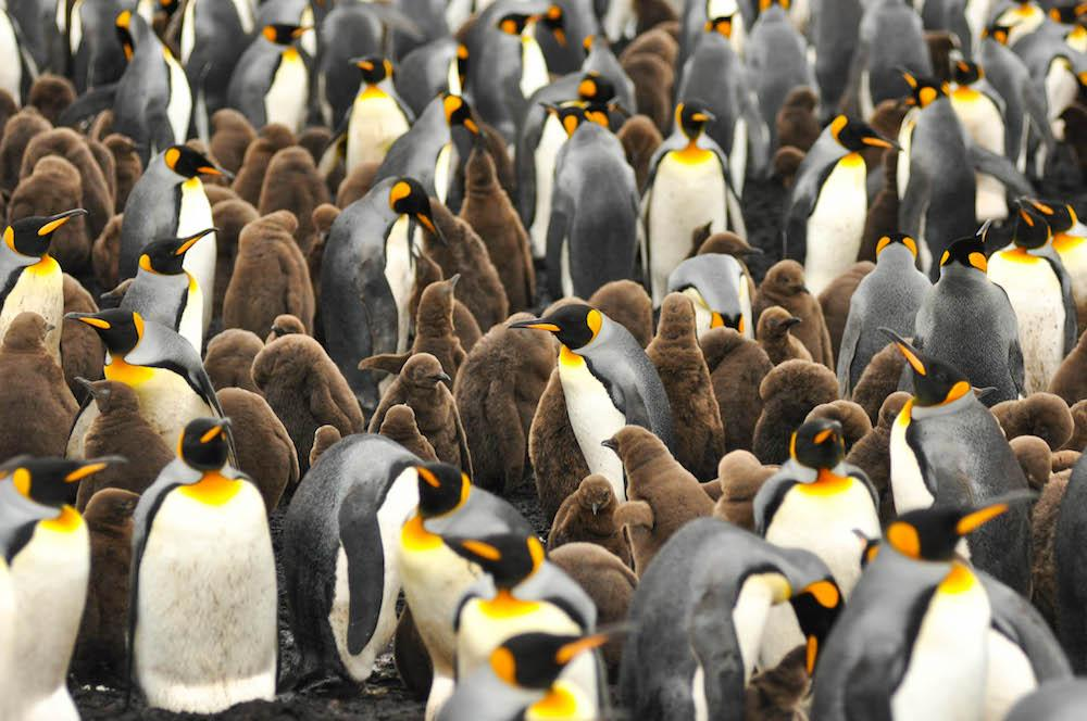 penguins falkland islands