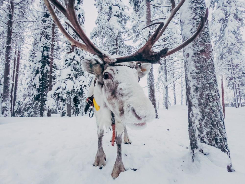 reindeer finnish lapland winter