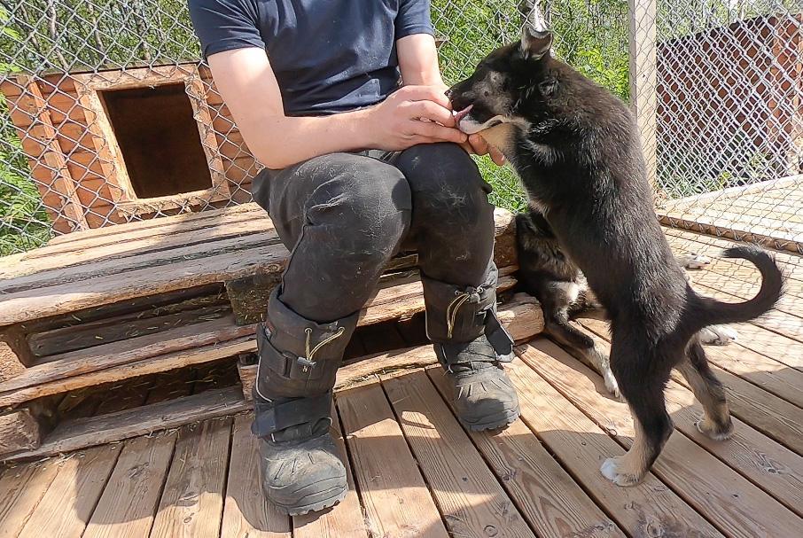 Holmen Husky Lodge Alta puppies in June