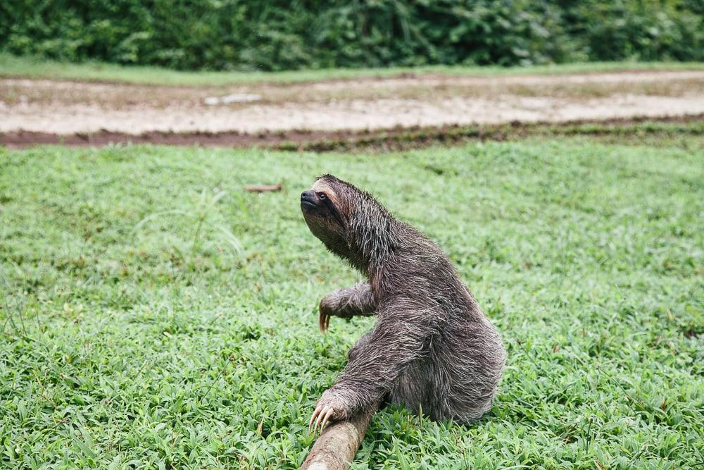 sloth at red frog beach resort panama