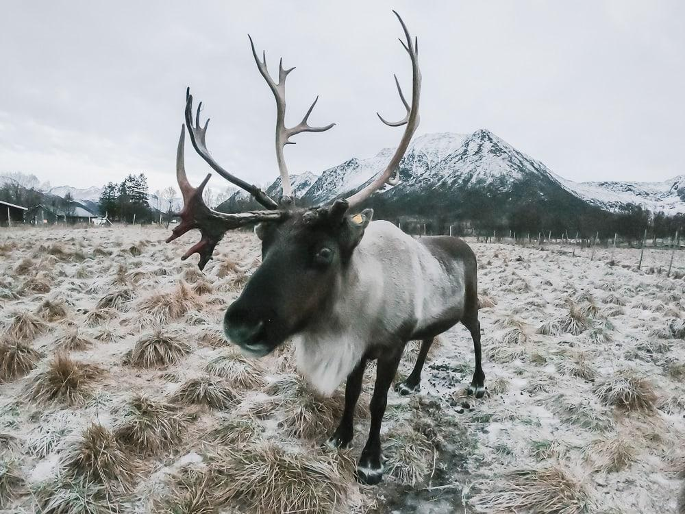 inga sami siida reindeer in norway