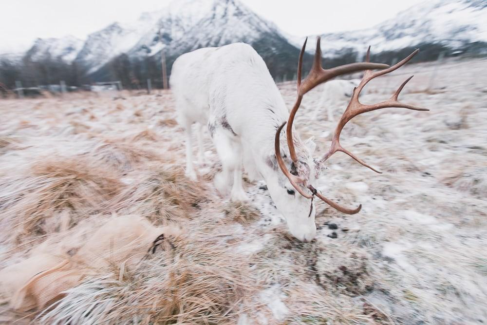 where to see reindeer near lofoten