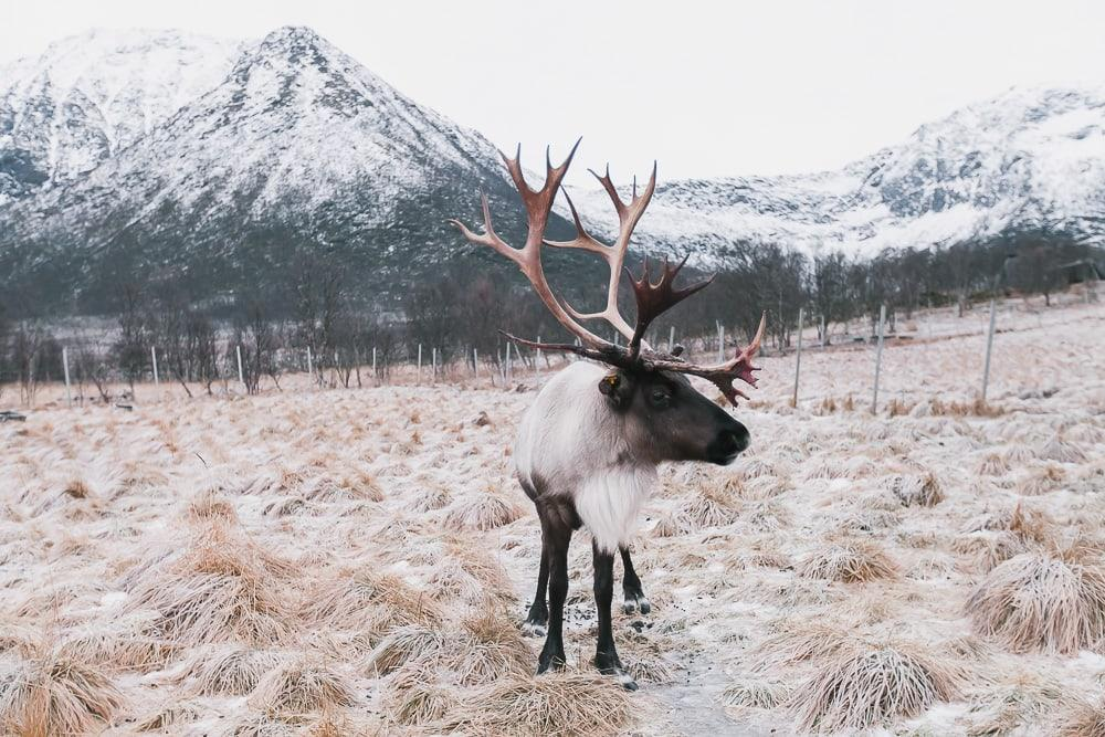 where to see reindeer near lofoten norway