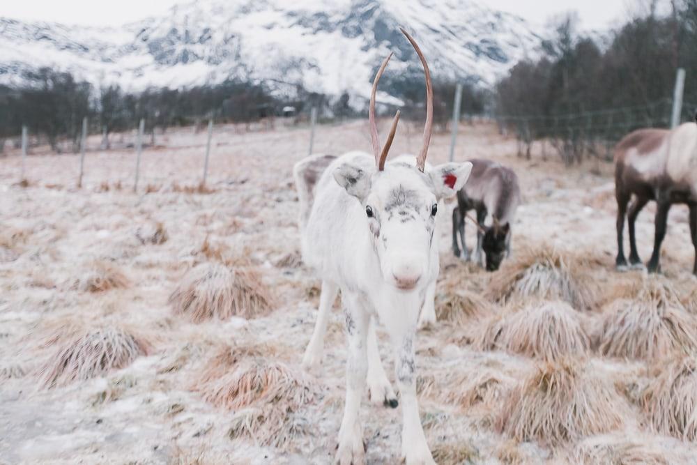 reindeer experience norway inga sami siida vesterålen