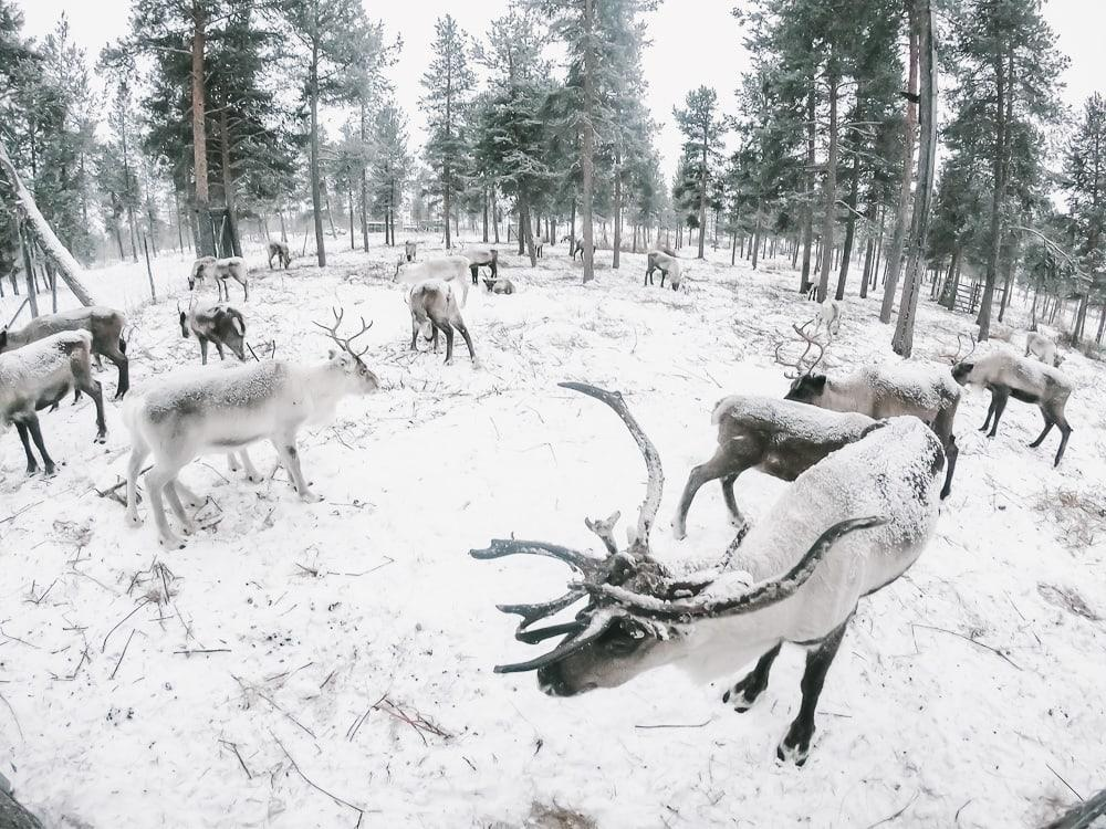 reindeer kiruna swedish lapland