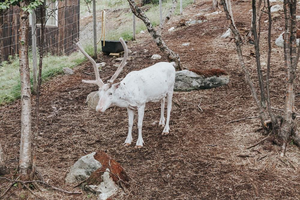 reindeer at snowhotel kirkenes norway