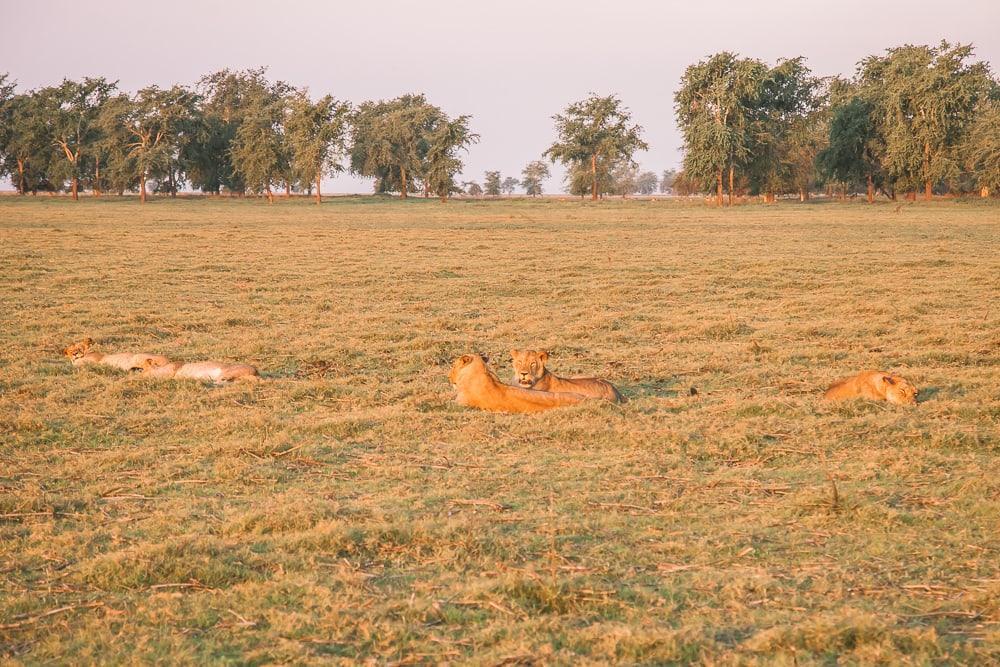 gorongosa national park safari lions mozambique