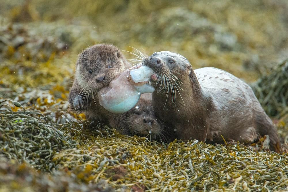 otter photographed by Richard Shucksmith of Shetland Photo Tours