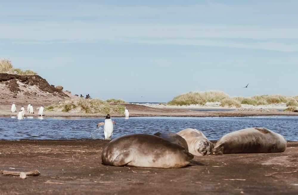 penguins and elephant seals sea lion island falklands