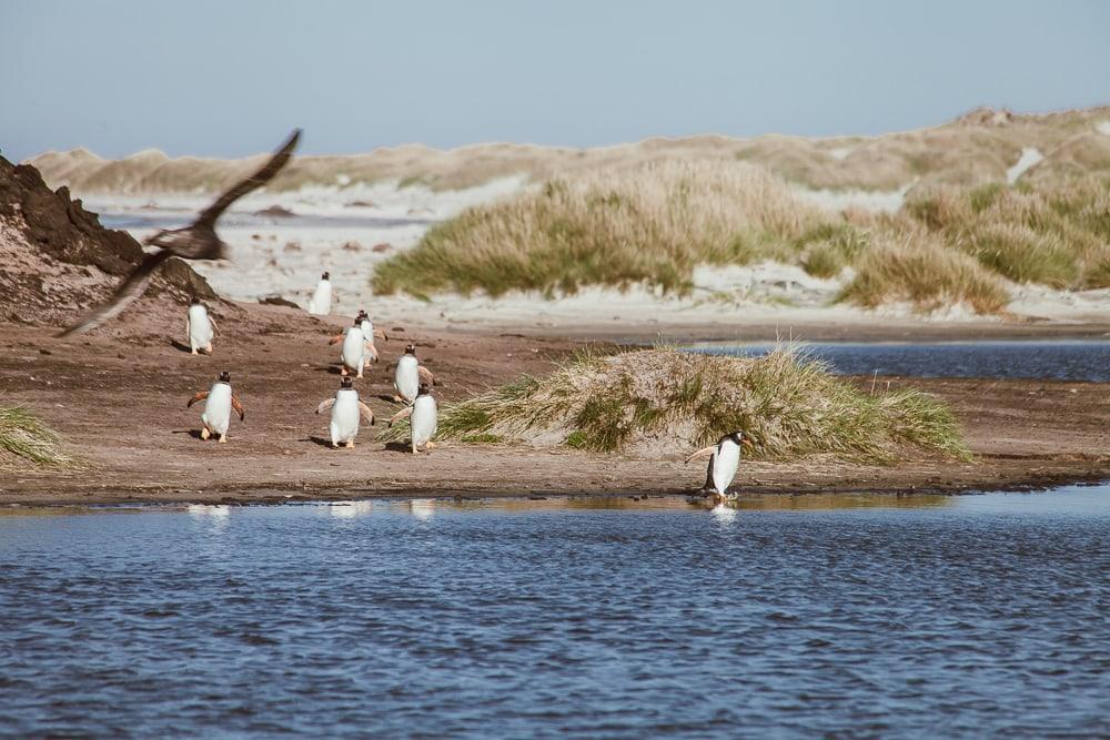 penguins sea lion island falklands