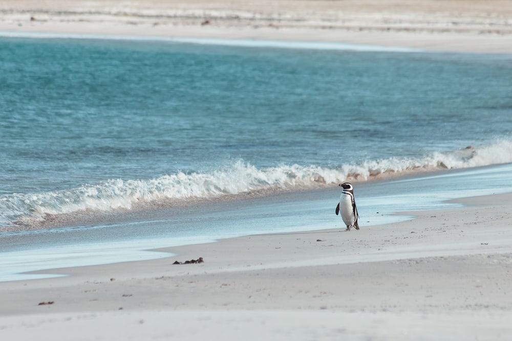 magellanic penguin bleaker island falklands