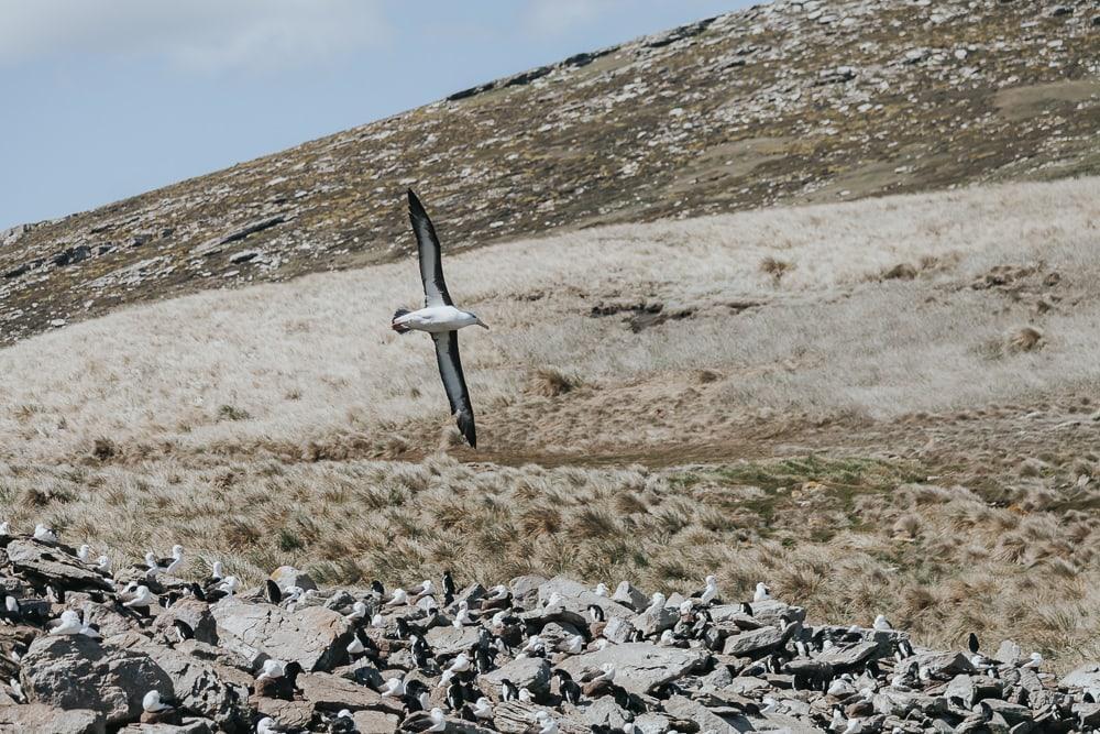 albatross west point island falklands