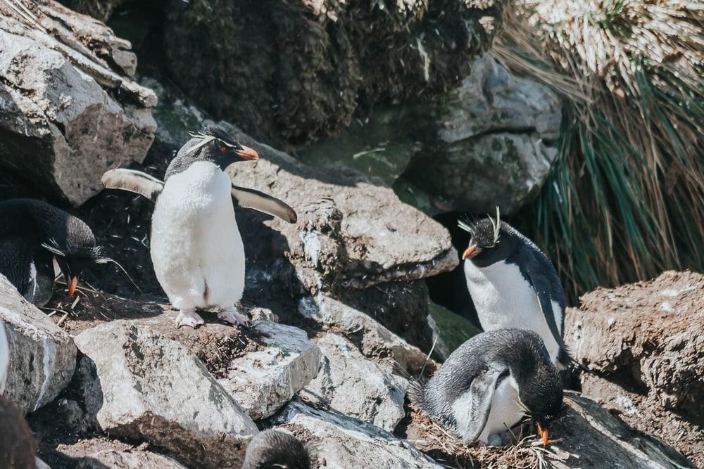 rockhopper penguins west point island falkland islands