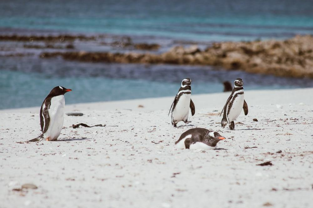 gentoo magellanic penguins carcass island falklands