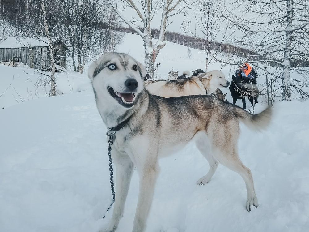 husky sledding aaslid polar helgeland
