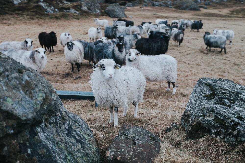 sheep on lovund, norway