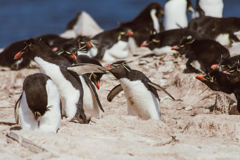 rockhopper penguins falkland islands