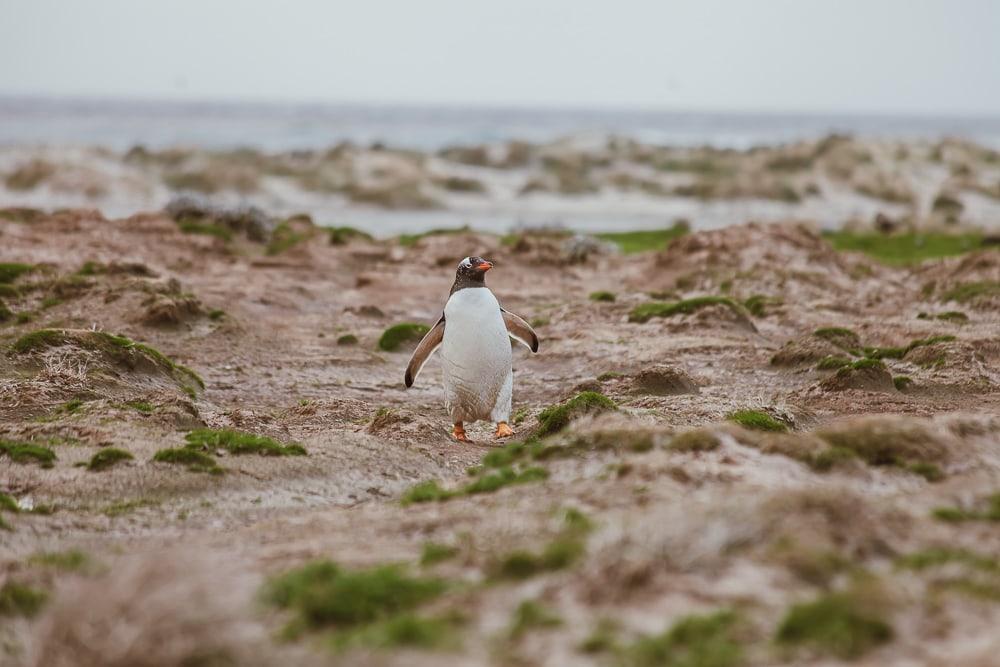 falkland penguin