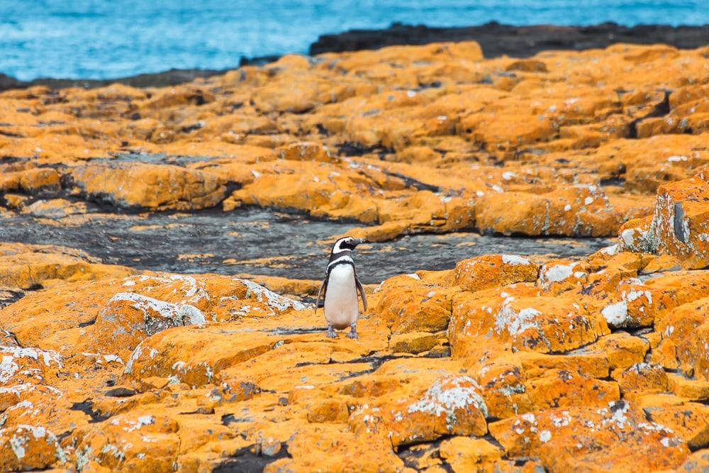 magellanic penguin falkland islands