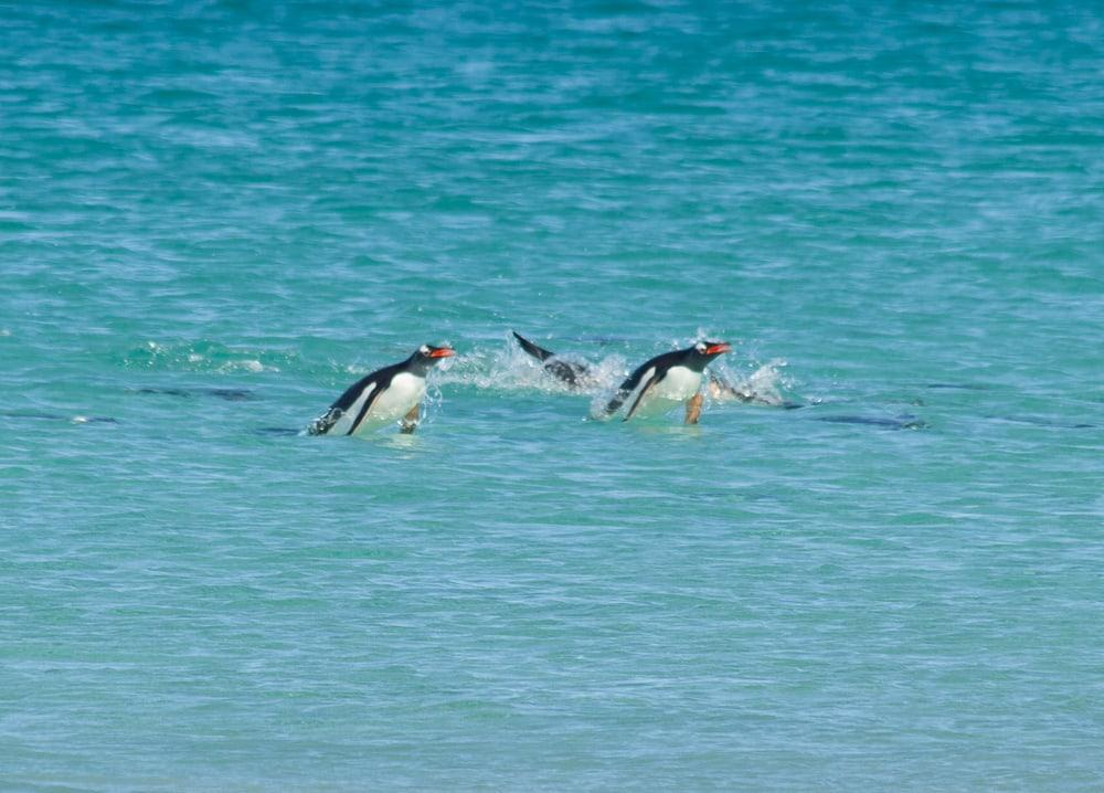 swimming penguins falklands