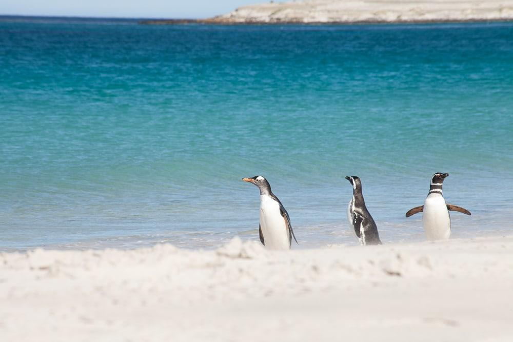 penguins swimming falkland islands