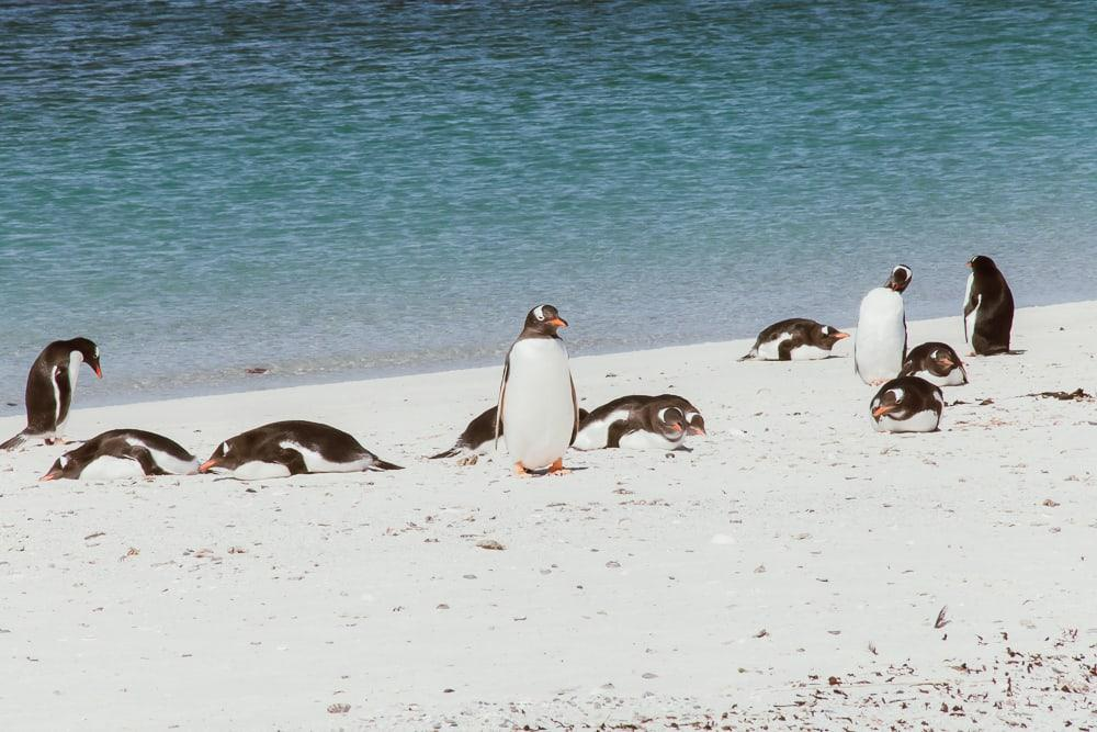 falkland penguins