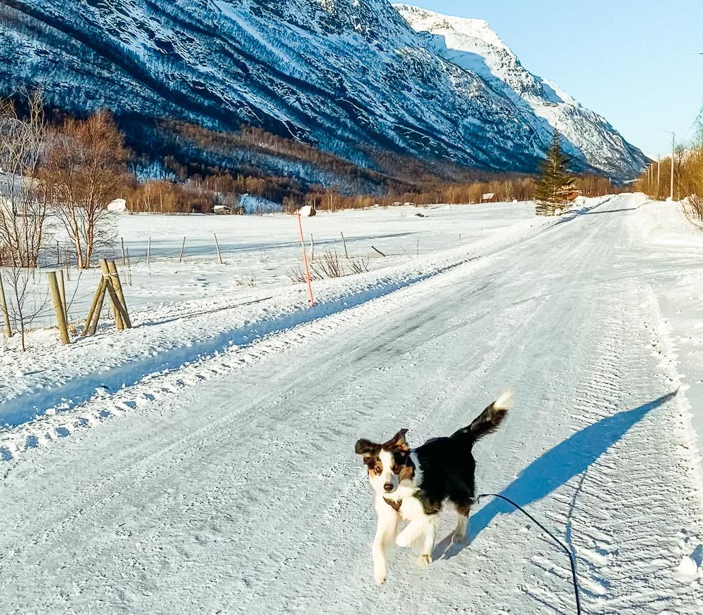 border collie in winter