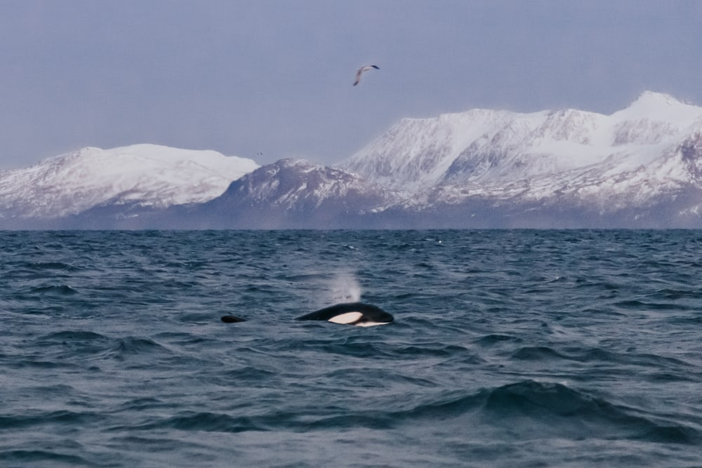 whale watching tromso norway